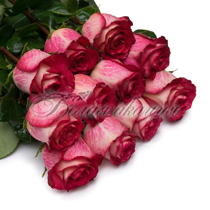 фото роза игуана